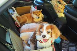 柴犬を飼う(3) 犬とドライブ(車が苦手な犬対策)