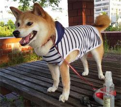 柴犬を飼う(15):夏の散歩の必需品