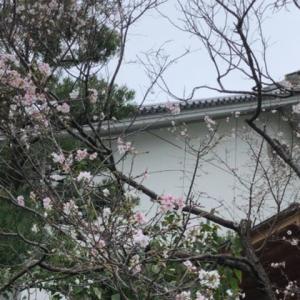 10 月のプライベートツアーもろもろ〜 10 月も桜🌸