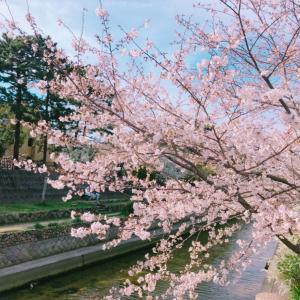 癒しのお散歩コース 夙川の桜♪