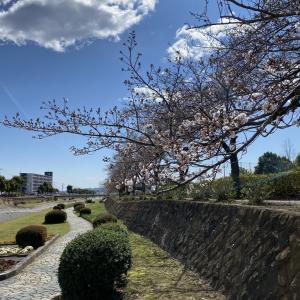 桜は咲いたかな?