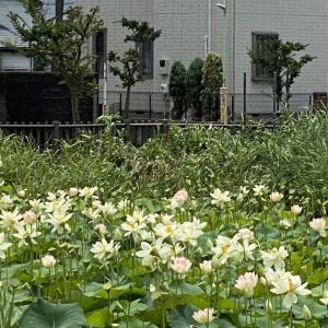 藤沢 鵠沼蓮池公園のハス!