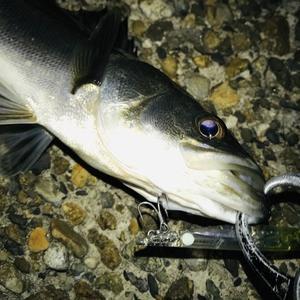 湾奥 シーバス釣行 安定のプラ釣行