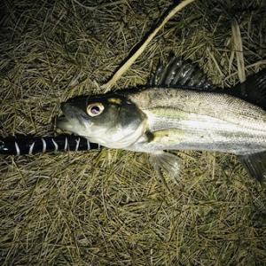 湾奥 シーバス釣行 稚鮎とハク