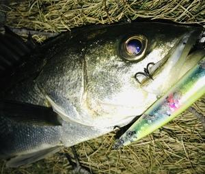湾奥 シーバス釣行 一瞬の活性