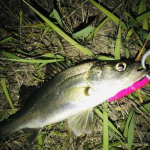 湾奥 シーバス釣行 バチだけの釣り