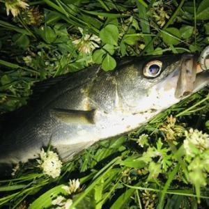 旧江戸川 シーバス釣行 ハクボイルでマルチ!