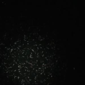 湾奥 シーバス釣行 悶絶くるくるバチ