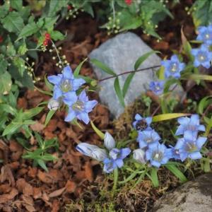 晩秋の箱根湿性花園で出会った花