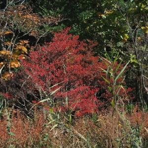晩秋の箱根湿性花園の紅葉