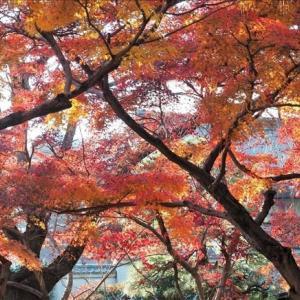 千葉県松戸市、本土寺の紅葉