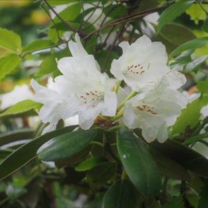 オキシャクナゲの白花とヤクシマシャクナゲ