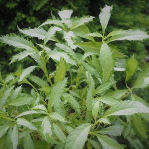 美しい斑入り植物15 斑入り植物4点・・・・