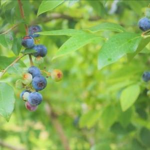 近郊の自然観察89  ブルーベリーが食べごろです。