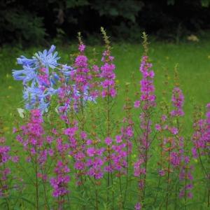 近郊の自然観察90  ミソハギとアカツメクサの白花、