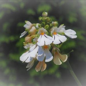 ヒロハノカランと夏咲きエビネの人工的な交配種2種が咲いています。