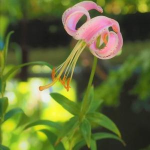 開花中のユリ4種・・・