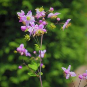夏の山野草 花の少ない季節を飾る貴重な花たち・・・