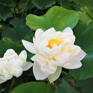 霞ケ浦の蓮の園を訪ねました。