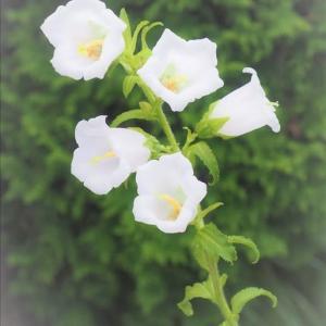 夏前に咲くホタルブクロやカンパヌラもボチボチ終盤です。
