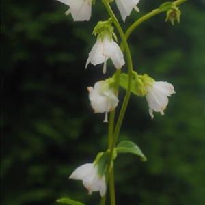 白い花のヤチシャジン、濃い花色のツリガネニンジン が咲いています。
