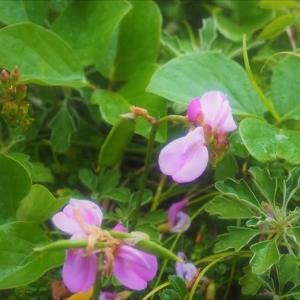 室戸岬で出会った花(1)