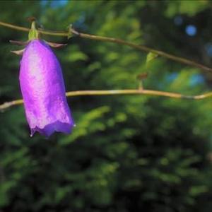 ハナブサソウが咲きました。(Hanabusaya asiatica)