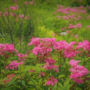 入笠山、夏の陣では無い、夏の花・・・
