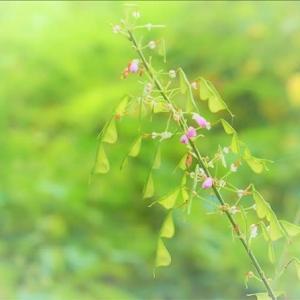 千葉市泉自然公園で出会った花、フジカンゾウとヌスビトハギ