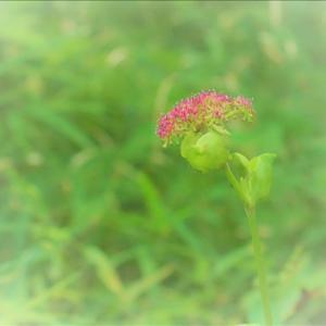 千葉市泉自然公園で出会った花、ノダケとハギ・・・