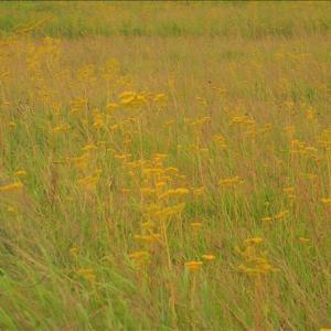昼間の近隣散策・・・成東東金食虫植物群落のオミナエシ・・・