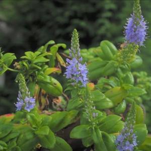 数える程の山野草の中から、開花種の紹介です
