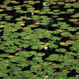 南会津の矢の原湿原、ヒツジグサが満開でした。