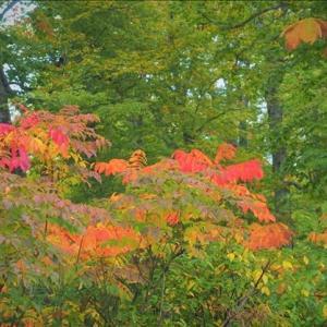 桧枝岐の御池に向かう峠の紅葉・・・