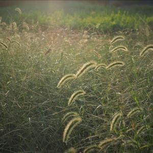 近隣の散策ーエノコログサ、光との遊びが楽しめる野草・・・