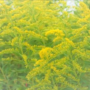 近隣の散策ー今年も秋の野に色々な花が・・・