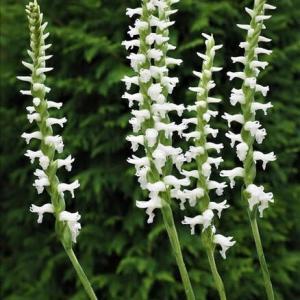 開花中の山野草・・・海外からの小形のラン科植物、