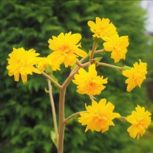 開花中の山野草・・・ツワブキの花の変異。