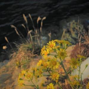 紀州の海辺、ツワブキが満開で~す。