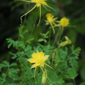 開花中の山野草・・・北アメリカからのオダマキのA.クリサンタとハナグルマ・・・