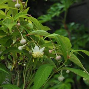 開花中の山野草、バイカアマチャと唐子咲きのノイバラ、 それに、金色の実が・・・