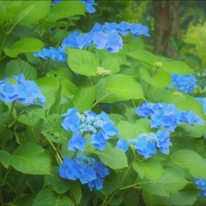 緑化植物園の散策 、多彩な花のアジサイ園・・・