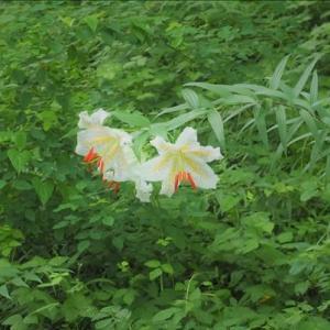 近隣散策、雨の日が続きます。今年もヤマユリが咲き始め・・・