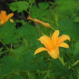 近隣散策、雨も上がって夏の花が輝いています。 ノカンゾウ、ツユクサの葉に・・・