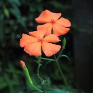 開花中の山野草、夏の花が次々と、 フシグロセンノウの花が咲き始めました・・・