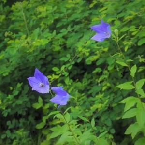 近隣散策、夏の花も次々と咲いて、キキョウ、ノカンゾウ・・・