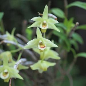 キバナセッコクとボウラン・・・ 比較的小さな花ですが、魅力にあふれています・・・