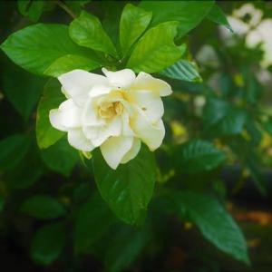 近隣散策、クチナシの良い香りが漂う芝山仁王尊・・・