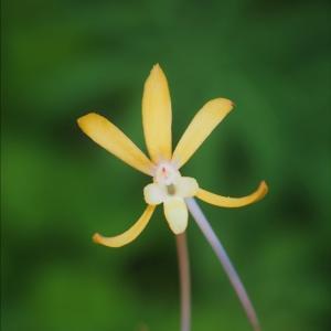 開花中の山野草、夏の花が次々と・・・ フウランの花色の変異の色々・・・