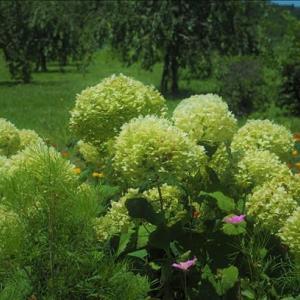 アジサイの季節は既に終わっている時期ですが、 まだ、美しい場所が有り・・・